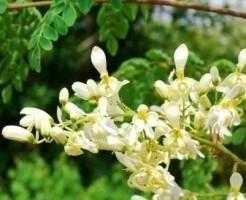 マルンガイの花