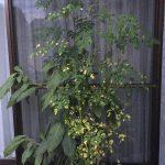 栄養素90種類以上、オメガ3も含む熱帯植物マルンガイ、モリンガの育て方