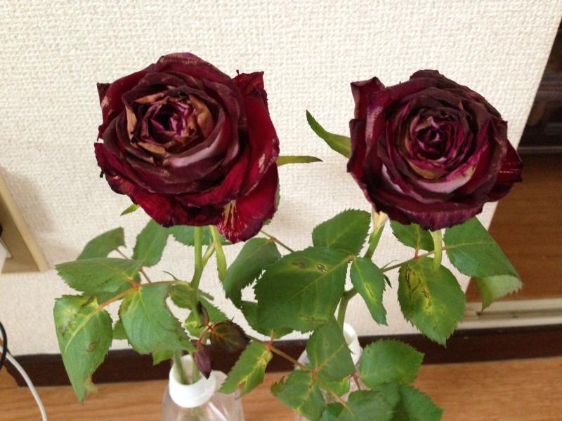 ガイアの水の実験、バラの切花を漬けてみるとドライフラワーのように。